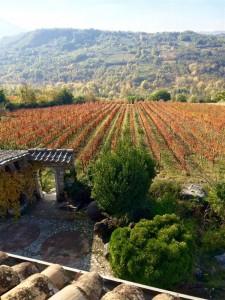 Виноград Таурази этой осенью