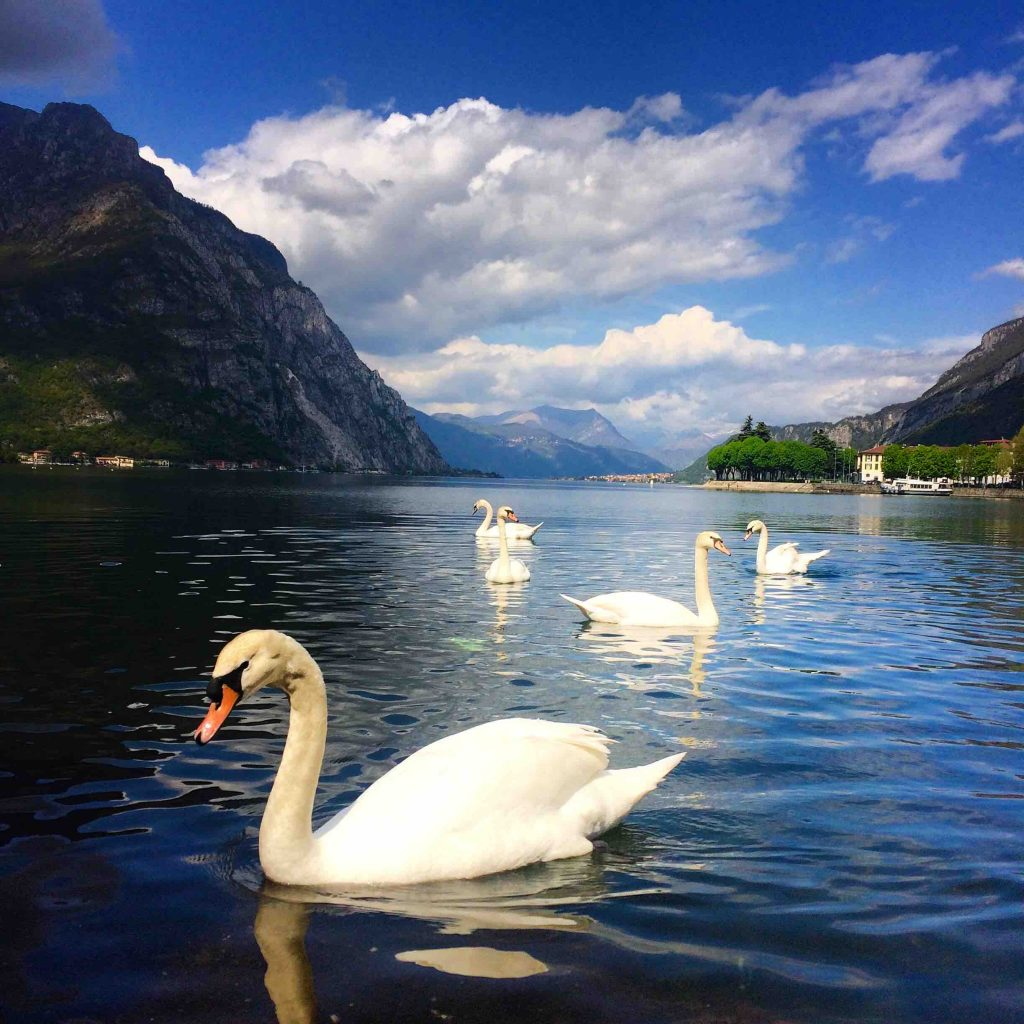 Лебеди на озере Комо
